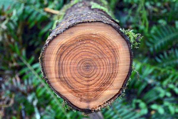Ulovlig felling av trær