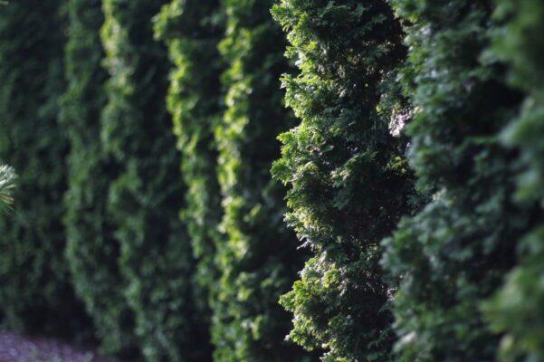 plante hekk mot nabo